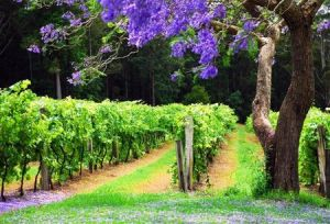 Bago Vineyards - Townsville Tourism
