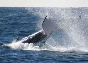 Whale Watching Sydney - Townsville Tourism