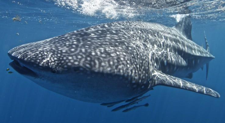Three Islands Whale Shark Dive - Townsville Tourism