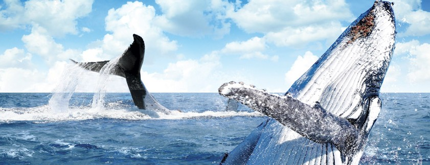 Australian Whale Watching - Townsville Tourism
