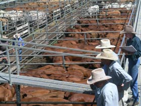Dalrymple Sales Yards - Cattle Sales - Townsville Tourism