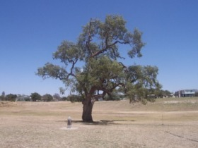 Historic Coolabah Tree - Townsville Tourism