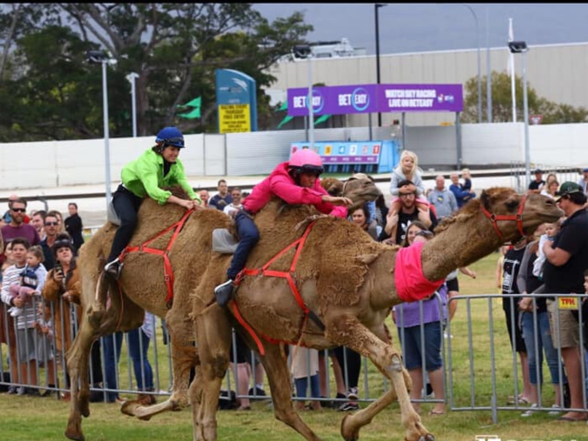 Camel Races at Gosford Showgrounds - Townsville Tourism