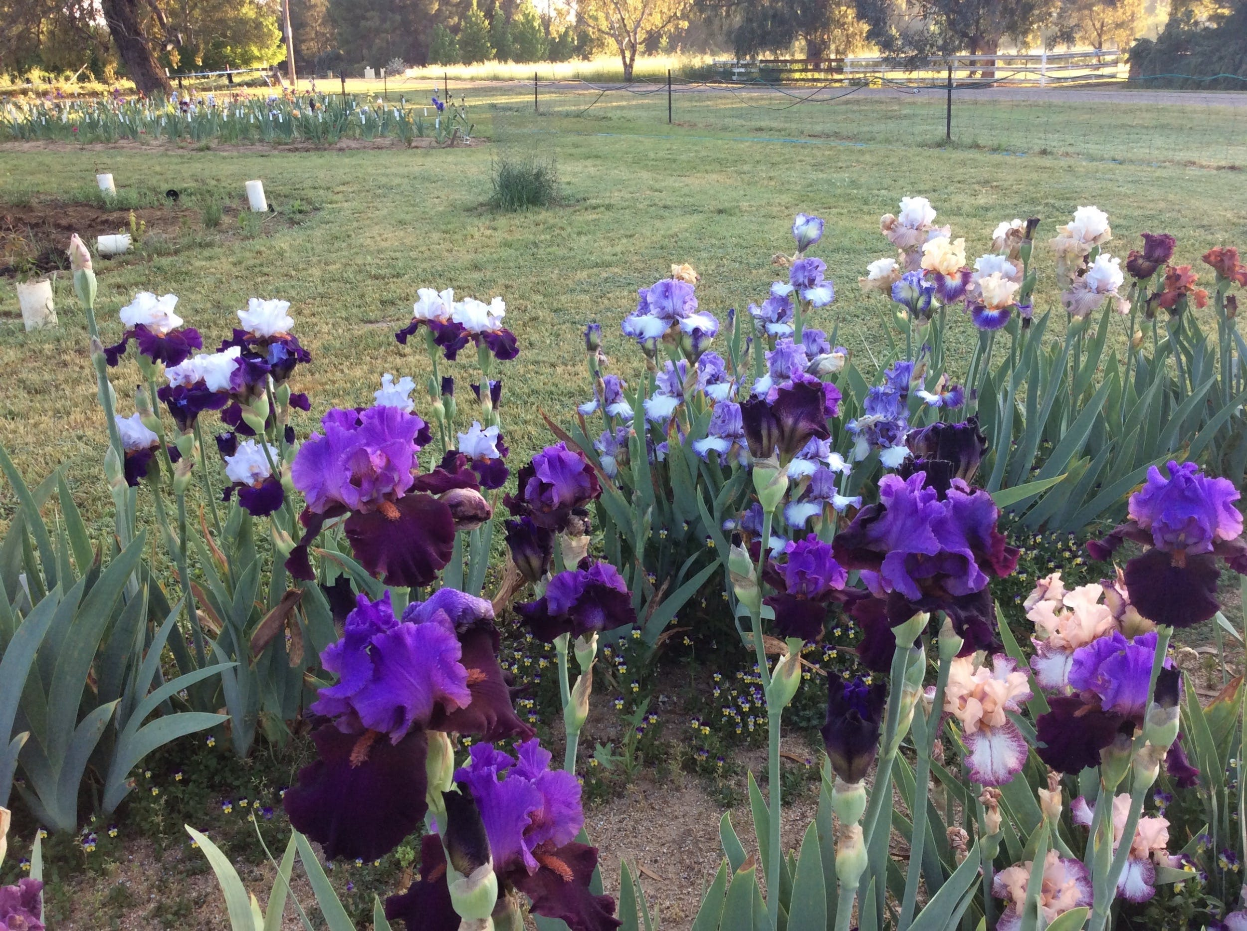 Riverina Iris Farm Open Garden and Iris Display - Townsville Tourism